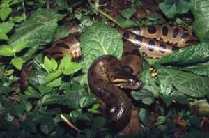 photo: USGS- Green Anaconda