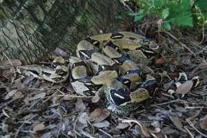 photo: USGS- Boa Constrictor