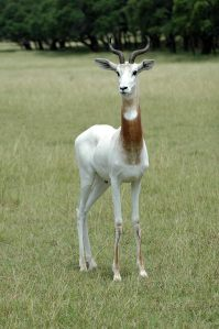 Dama gazelle photo: Exotic Wildlife Association