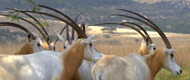 The scimitar-horned oryx was declared extinct in the wild in 2002 photo: Exotic Wildlife Association