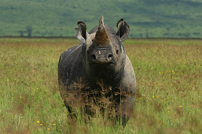 Black_Rhino_on_Ngorongoro_Crater