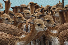 Vicunas Associated Press