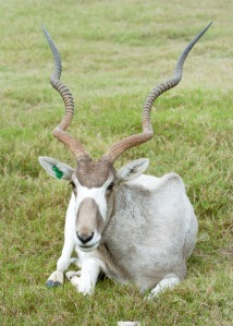 Addax photo: Fossil Rim
