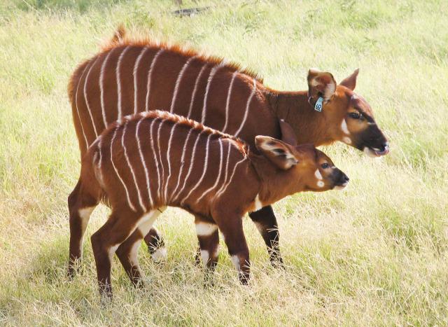 RS26453_bongo calf 11