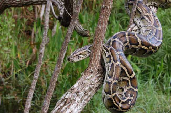 burmese-pythons-everglades-invasive-species_31112