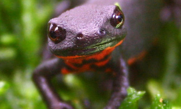 Captive Bred Chinese Fire-bellied Newt